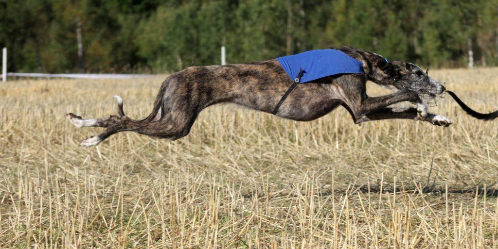 En spansk galgo som strekker ut i løp på Lure coursing banen