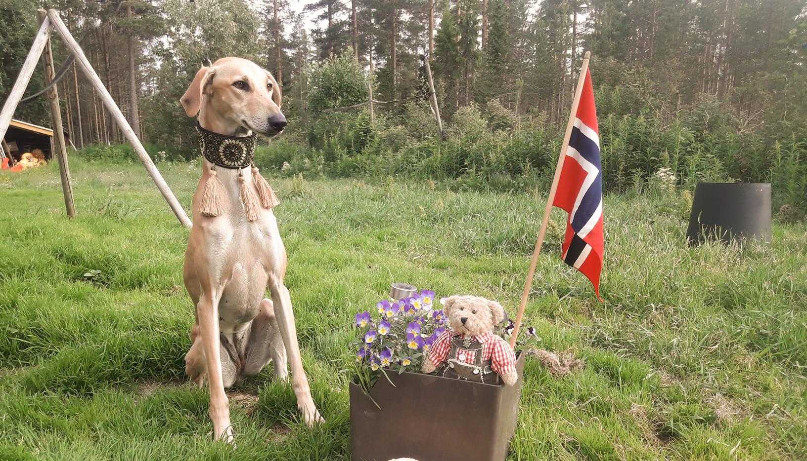 Sloughi sitter med det norske flagget