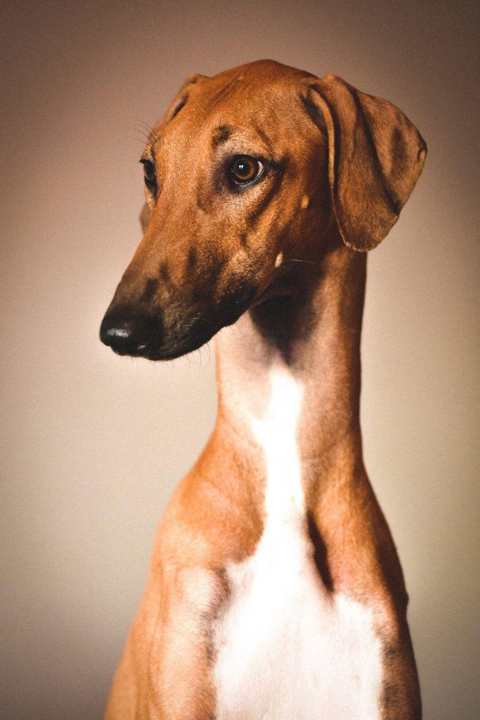 Profilbilde av en Azawakh