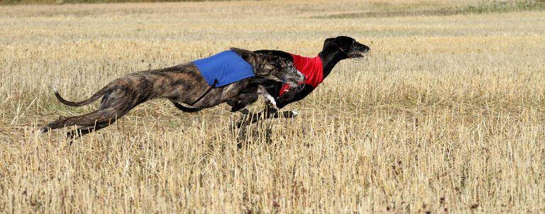 2 Spansk Galgo løper parløp på Lure Coursing